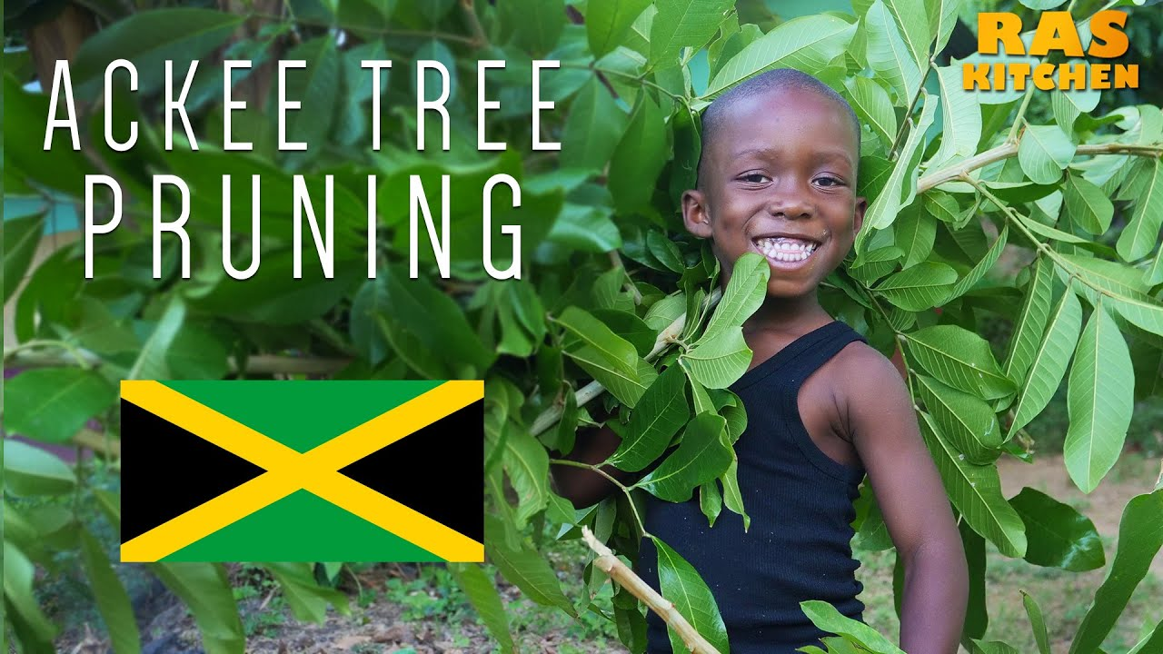 Ras Kitchen - Ackee Tree Pruning with Ratty & Coppy [5/13/2019]