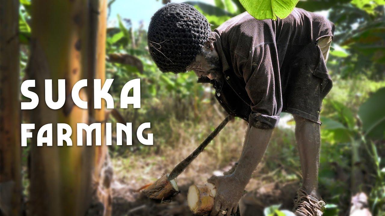 Ras Kitchen - Sucka Farming | Plantain Clones for the Yard [4/16/2021]