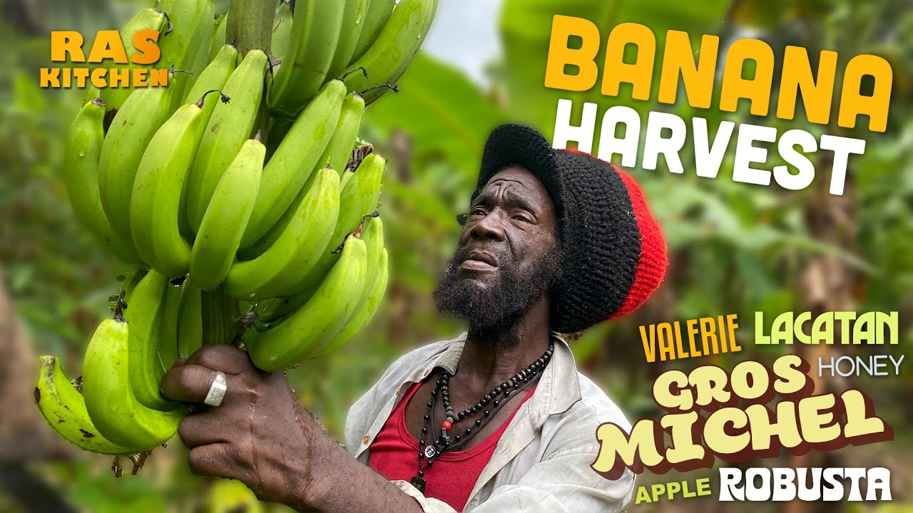 Ras Kitchen - Banana Harvest The RARE Gros Michel, Robusta, Lacatan, Valerie & More [10/8/2021]